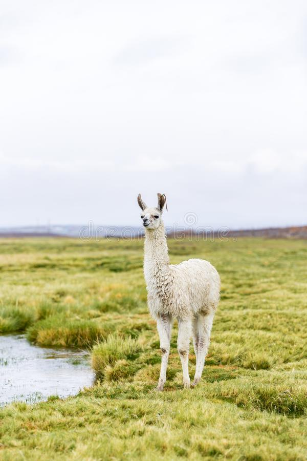 One majestic llama in the Altiplano in Bolivia stock photography