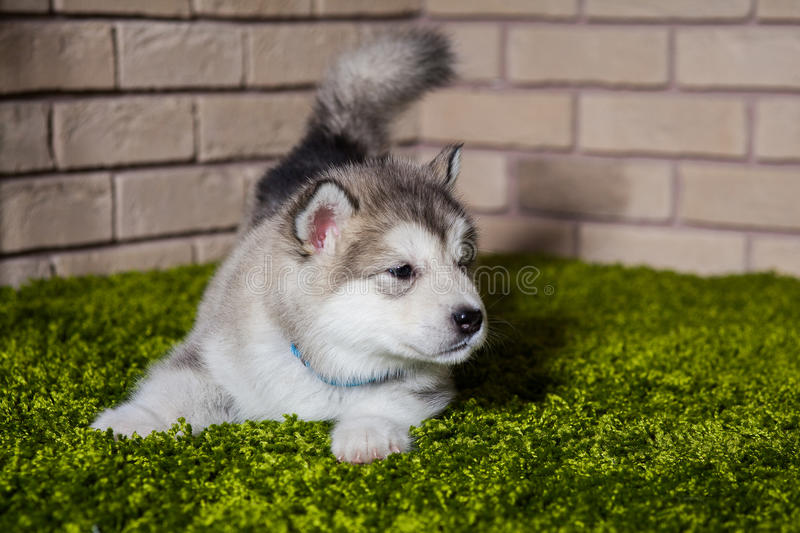 One malamute little puppy with wagged tail sniffing the air. And lying on the green grass against the brick wall background. Small miracle. Selective focus royalty free stock photos