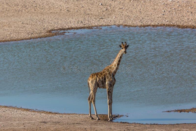 One male giraffe standing on water hole in Etosha park stock photos