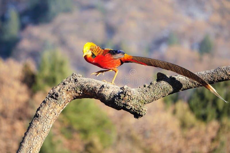 Golden Pheasant royalty free stock photo