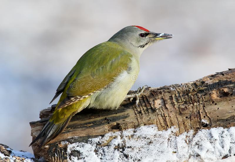 One male grey headed woodpecker sits on a forest log covered snow. stock images