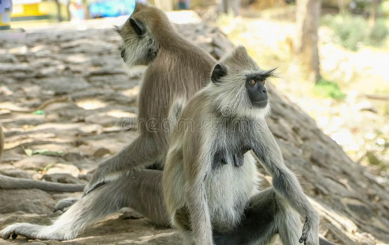 Indian gray langur monkey sitting down on pathway. In one-male groups, the resident male is usually the sole breeder of the females and sires all the young. In stock images