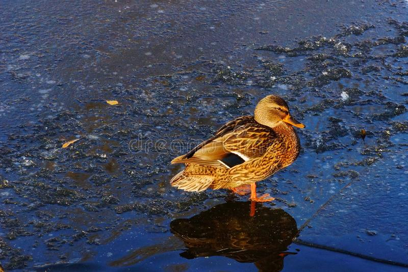 One beautiful mallard duck stands on the ice next to the water. royalty free stock photos