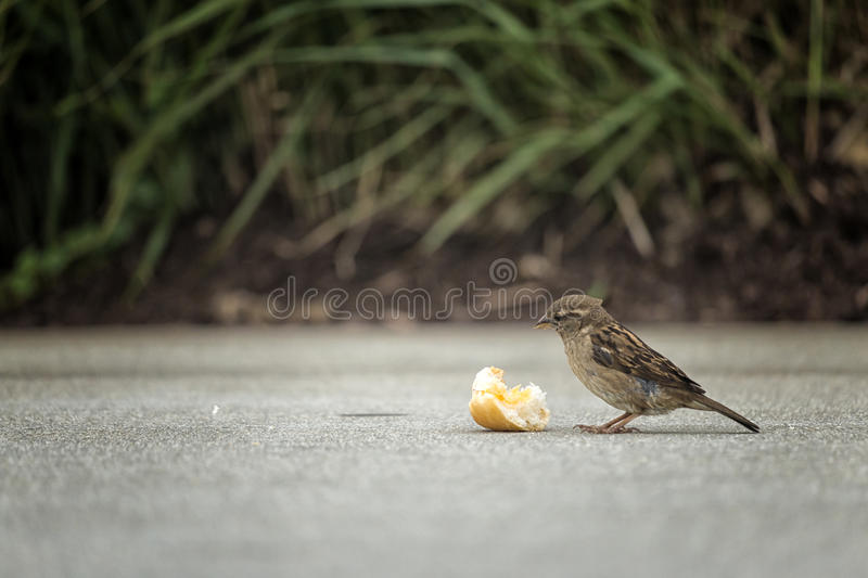 Trash or Treasure. A small bird prepares to feast on a piece of bread royalty free stock image