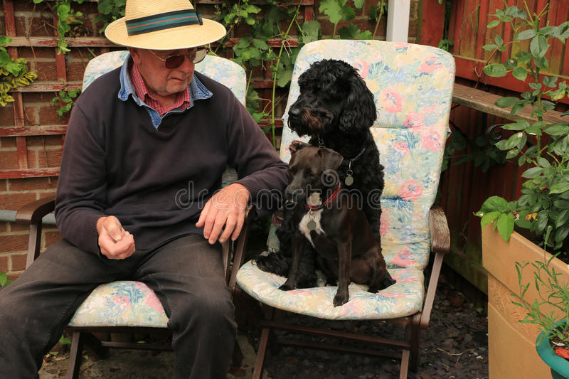 One man and two dogs. Elderly man sitting in a garden on wooden chairs and cushions with a labradoodle and patterdale dogs sitting next to him stock photos