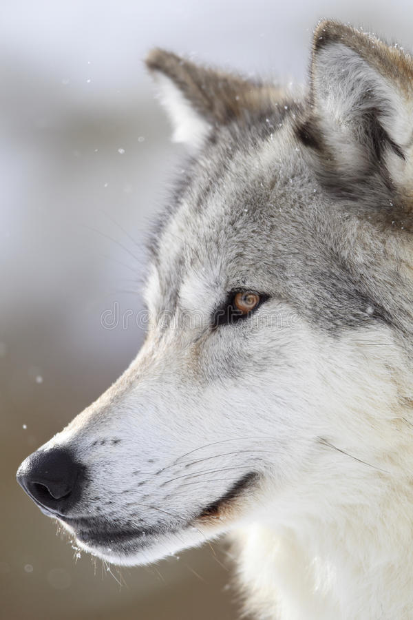 Free One Man Wolf Pack Royalty Free Stock Images - 36703279