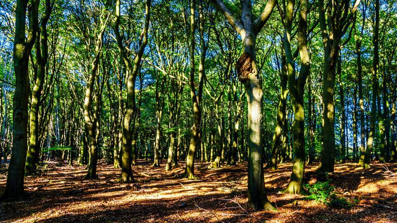 Beautiful forests of the Veluwe region in the Netherlands royalty free stock images