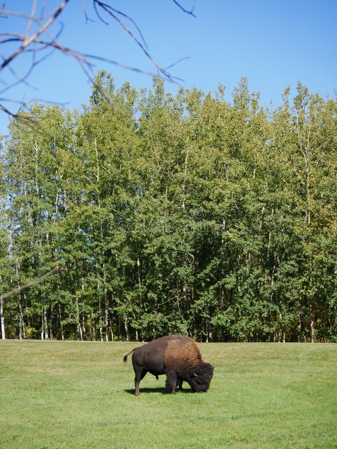 A mid-size Bison free-roaming in the Park. One of many bison free roaming in Elk Island National Park in Alberta, Canada royalty free stock photography