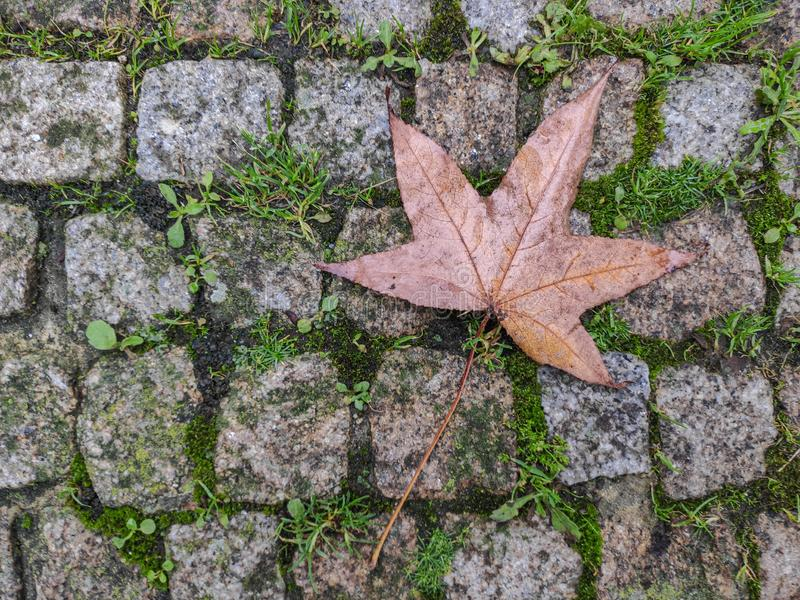 One maple leaf on cobblestones in autumn. Grass growing in the cracks. royalty free stock photos