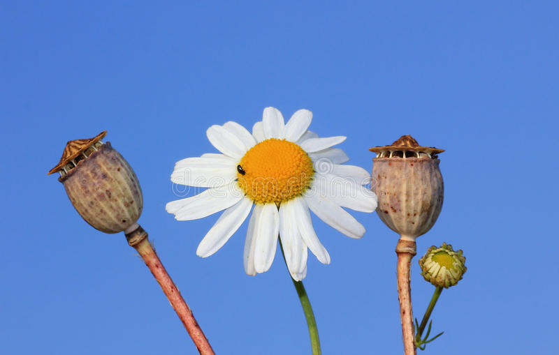 One Marguerite and poppy seed capsules against blue sky royalty free stock photo