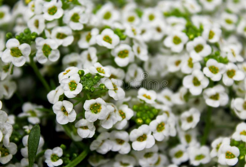 Tall White Sweet Alyssum flower meadow. One meadow is covering with the tall white sweet alyssum flowers royalty free stock images