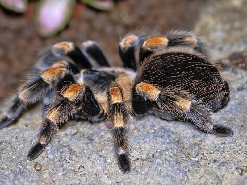 Mexican redknee tarantula, Brachypelma smithi, is a large hairy spider royalty free stock photo