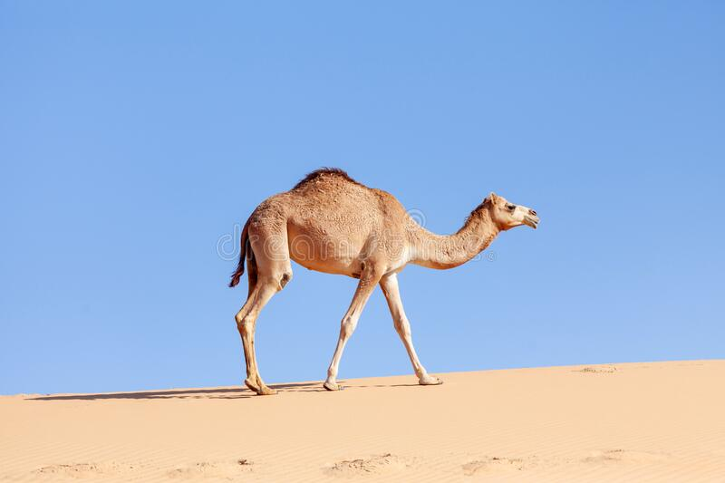 One middle eastern camel walking in the desert. In summer stock photo