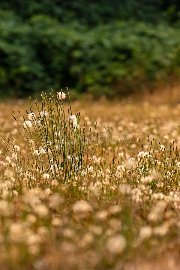 a one in a million dandelion plants stock photo