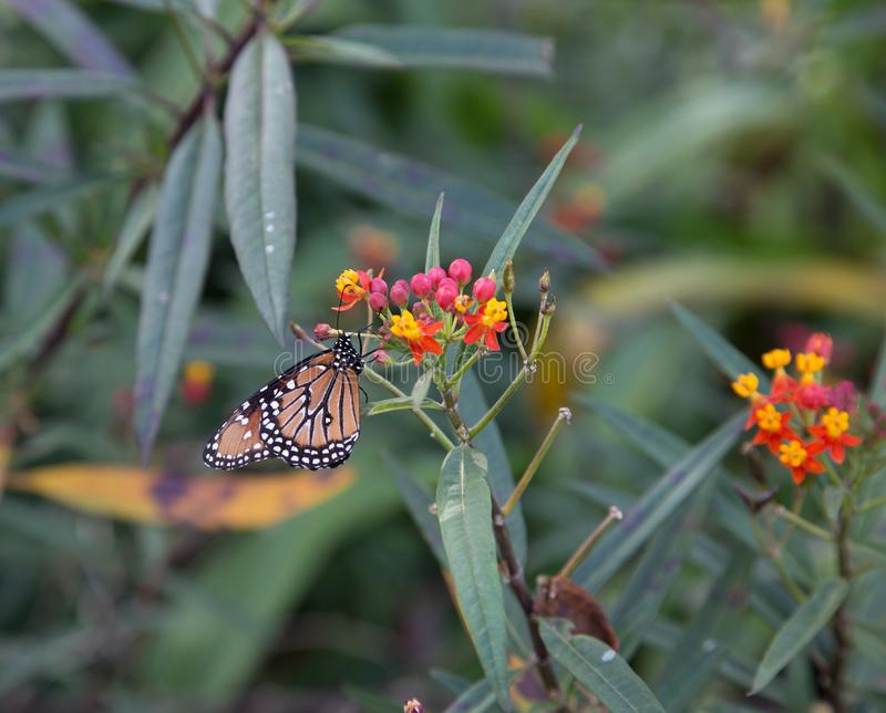 Monarch butterfly on red flowers royalty free stock photography
