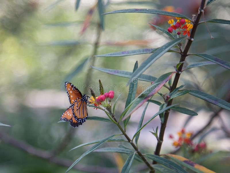 Single Monarch butterfly on flowers stock photos
