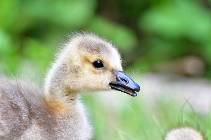 About one month old Gosling`s closeup royalty free stock images