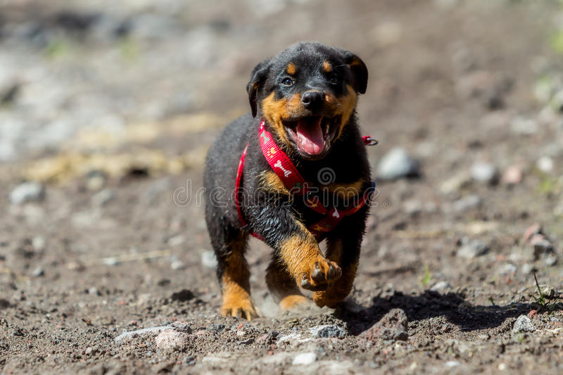 One Month Puppy Rottweiler Running royalty free stock image