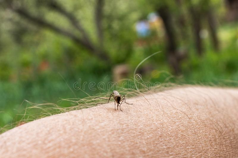 One mosquito sits on the hand, pierces the skin and sucks human blood. Causes the disease malaria. Mosquitoes are dangerous stock images
