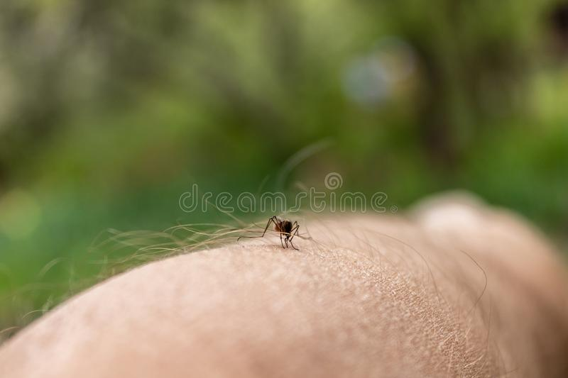 One mosquito sits on the hand, pierces the skin and sucks human blood. Causes the disease malaria. Mosquitoes are dangerous stock photos