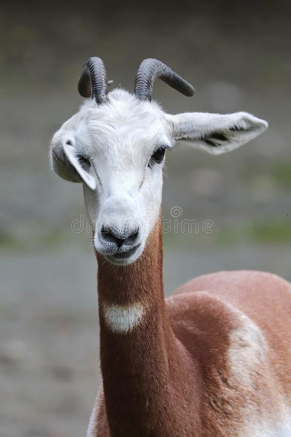 Dama gazelle royalty free stock photos
