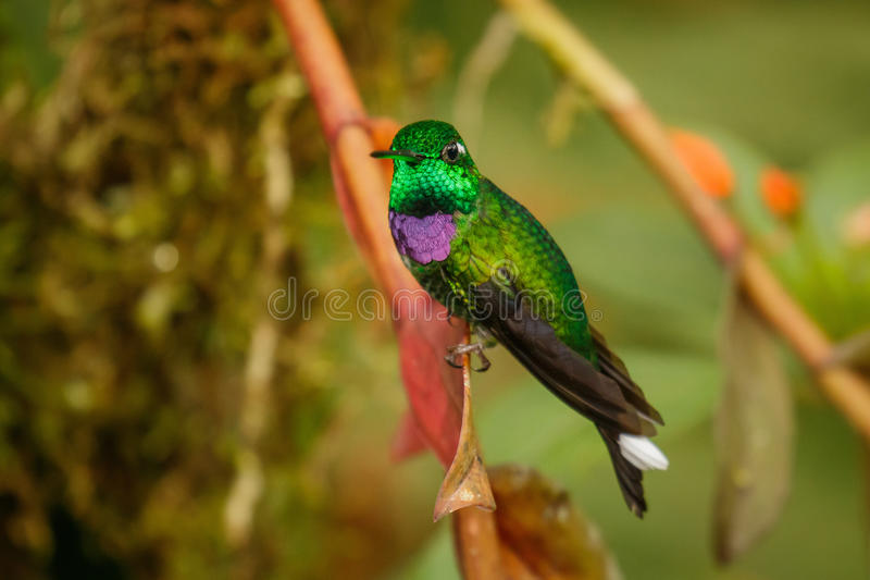 One of the most beautiful hummingbirds, Purple-bibbed Whitetip stock image