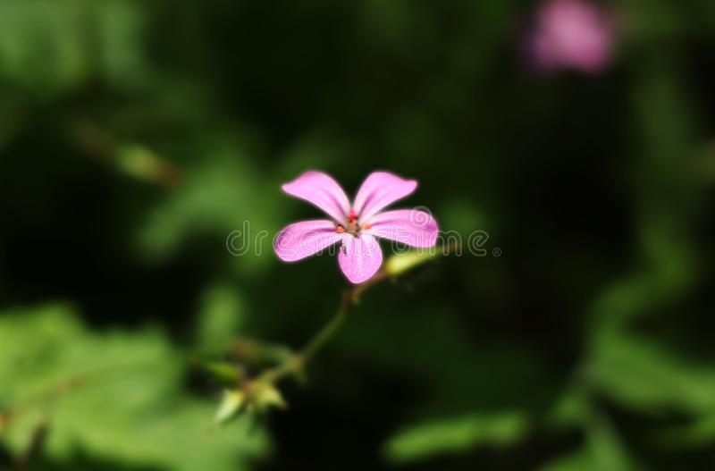 One of the most casual flower in Europe. Named as Herb-Robert, Red Robin or Death come quickly. royalty free stock images