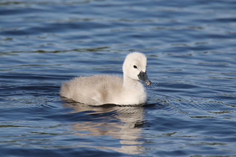 One Mute Swan Cygnet Swimming on a Blue Lake stock images