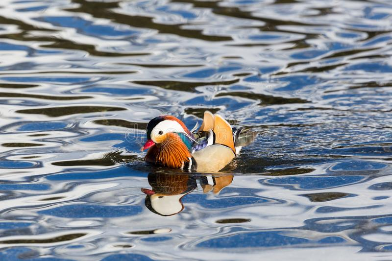 One male mandarin duck aix galericulata swimming in waved water royalty free stock photo
