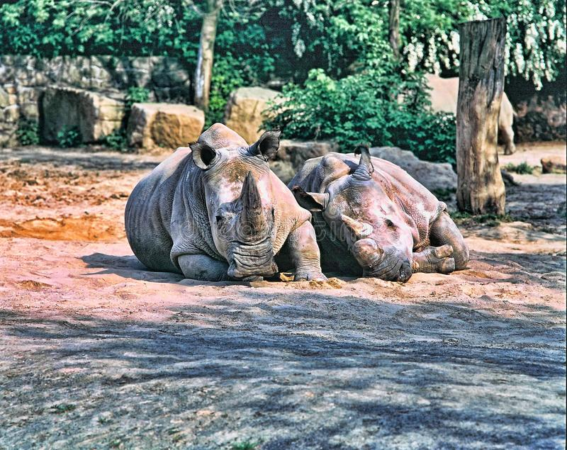 Northern White rhinoceros, Ceratotherium simum cottoni, today only the last two rhinos. One Northern White rhinoceros, Ceratotherium simum cottoni, today only stock photos