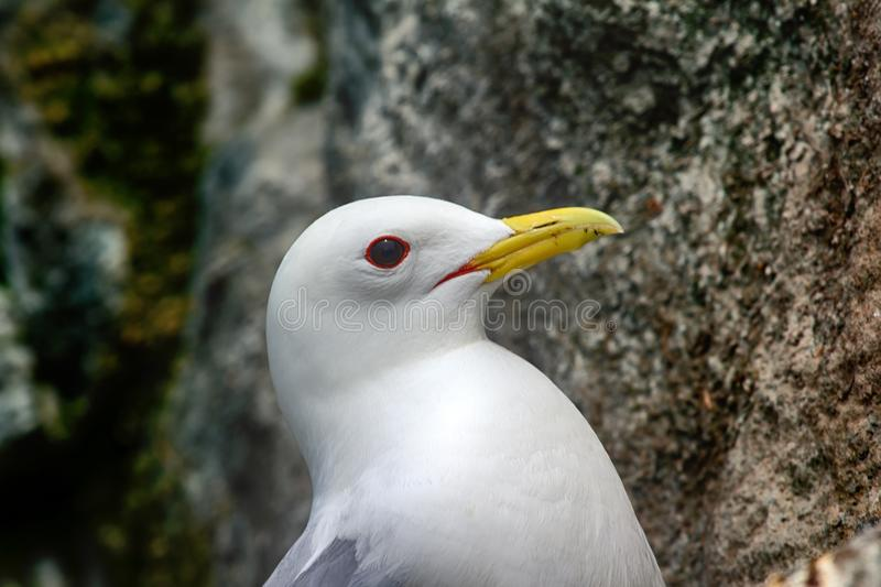 Kittiwakes - portrait of Seagull royalty free stock photography