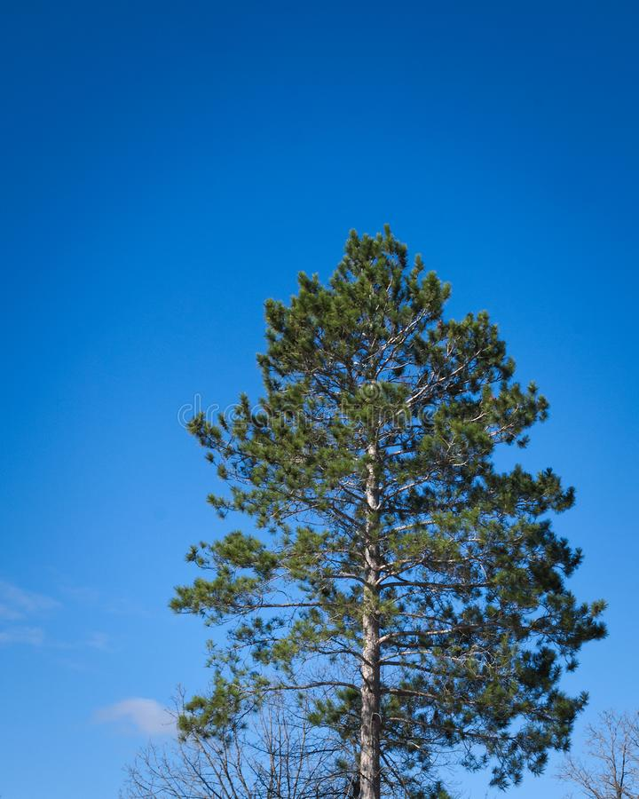 One Norway Pine tree, Pinus resinosa, and cloudless blue sky, copy space stock photos