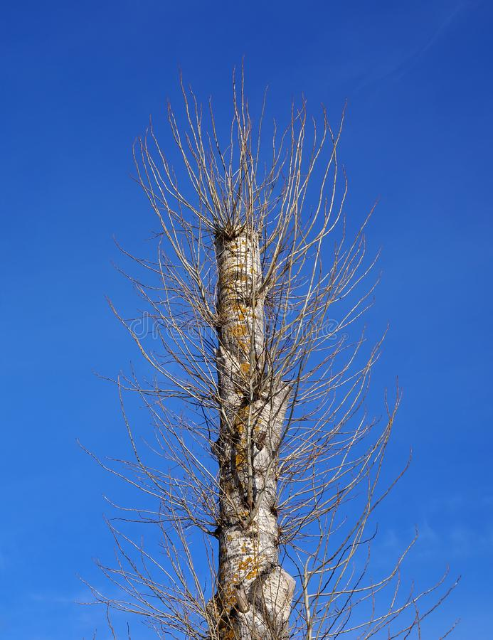 One old poplar tree after total pruning has produced a new young branches royalty free stock photography