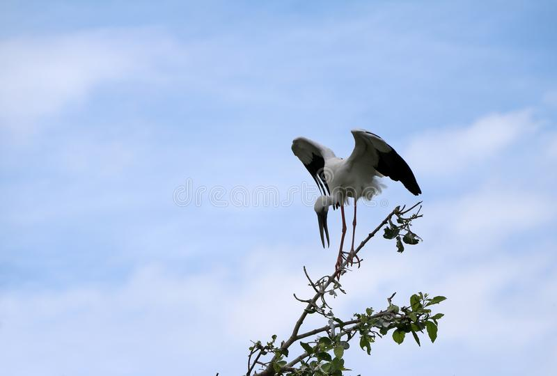 One of open billed stork bird perch and winged at the top of the tree on blue sky and white cloud background. royalty free stock photo