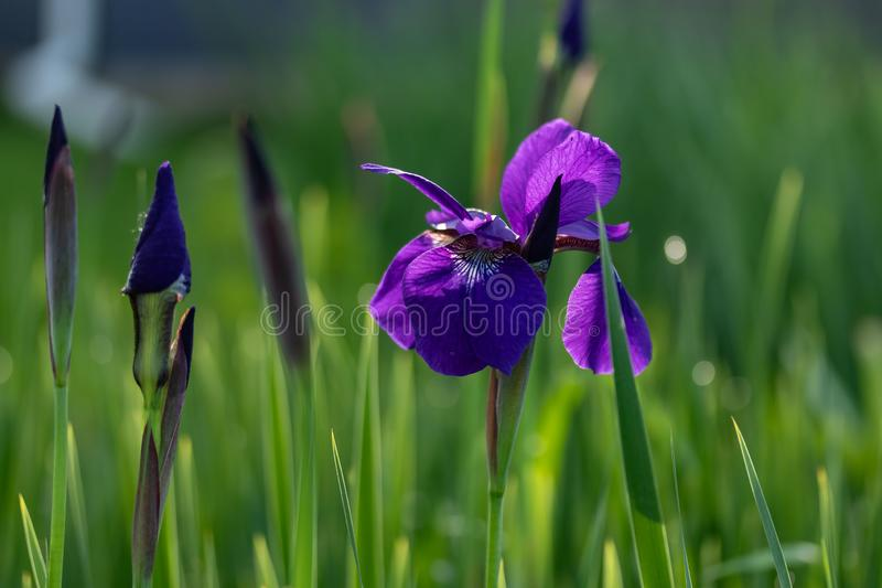 One open and several unopened Japanese Iris blossoms royalty free stock photo