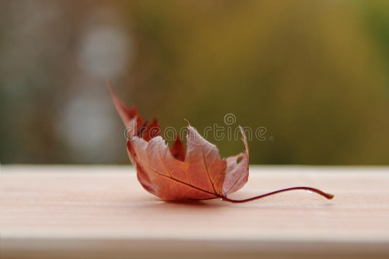 One orange dry leaf lies on a wooden board on a blurred background of trees royalty free stock photography