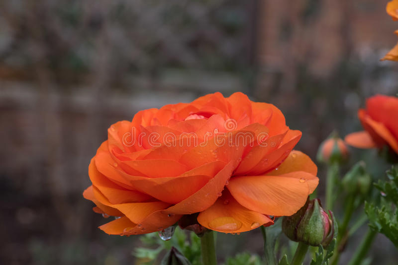 One orange flower blossoming with raindrops on petals royalty free stock photography