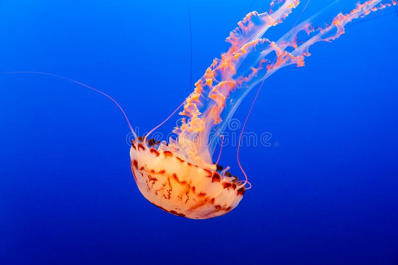 Orange jelly fish on a dark blue background. One orange jelly fish floats on a dark blue background royalty free stock images