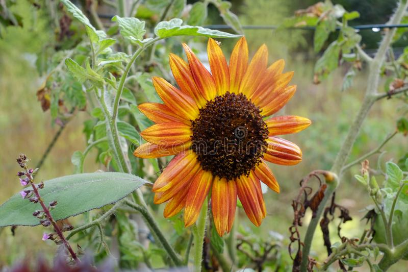 One orange sunflower on autumn. One orange sunflower in a field in south France. Orange and yellow gives the sensation of the sun within. Summer is gone, autumn royalty free stock photo