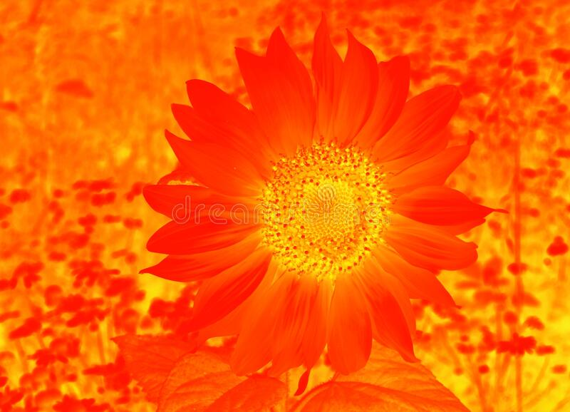 One orange sunflower flower in a field with chamomile flowers close up in the color of lush lava in the background soft focus stock images