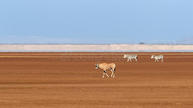 One oryx and two zebra in Amboseli. A fringe-eard oryx and to zebra walk across a dry lake bed in Amboseli. Blue sky and heat haze background stock photo