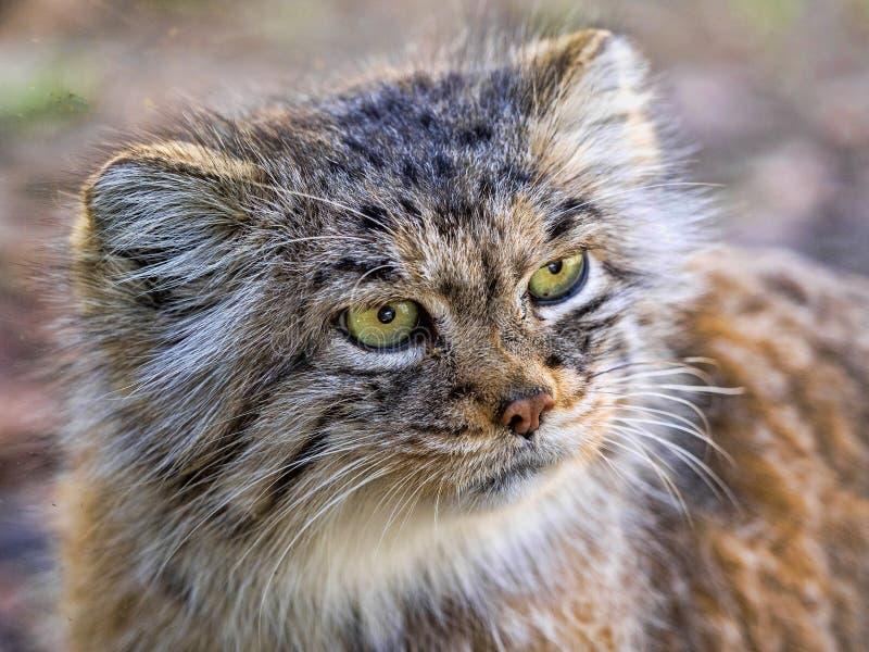 Pallas` cat, Otocolobus manul, a beautiful mountain cat stock photography