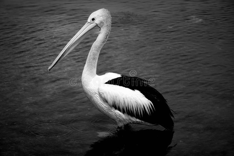 One pelican in black and white photo stock image