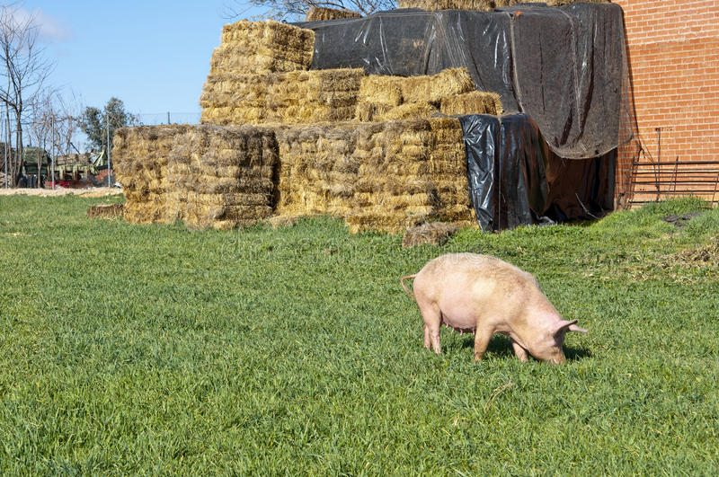 Download One pig in field stock image. Image of feeding, barley - 24602461