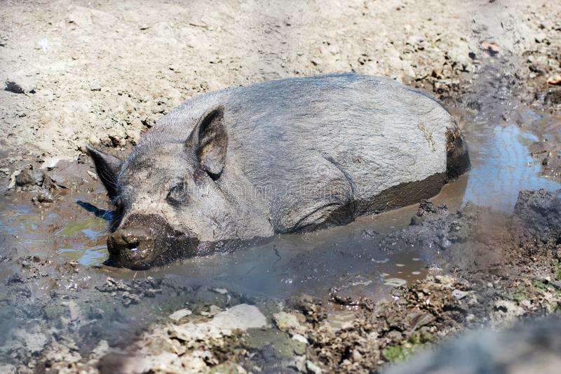 One pig is lying side by side on the ground comfortably among the mud. Black pig is resting in the mud royalty free stock image