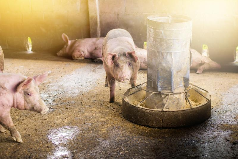 One pigs are eating food from feeder royalty free stock image