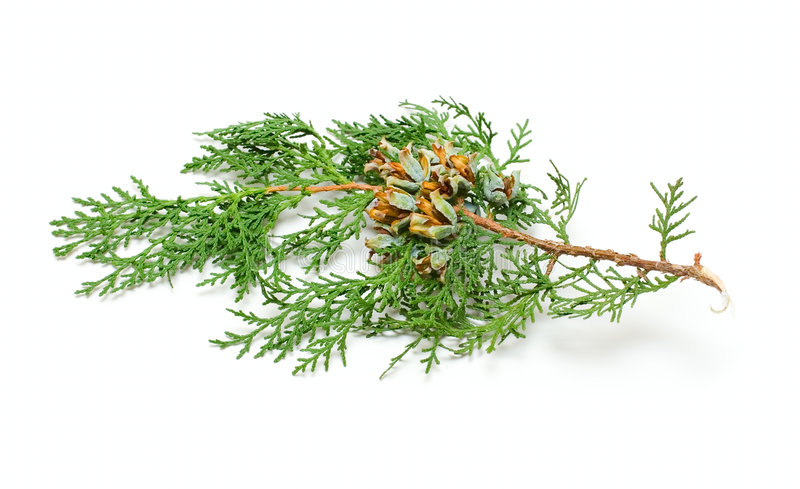 One pine cone brunch