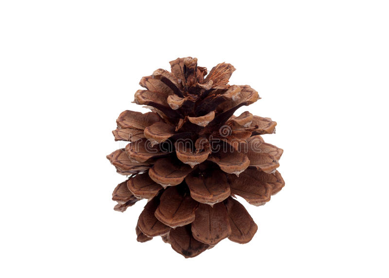 One pine cone isolated
