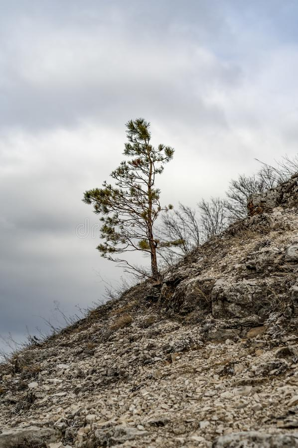 One pine tree on the hillside. Samara region, reserve Samara onions.  stock photo