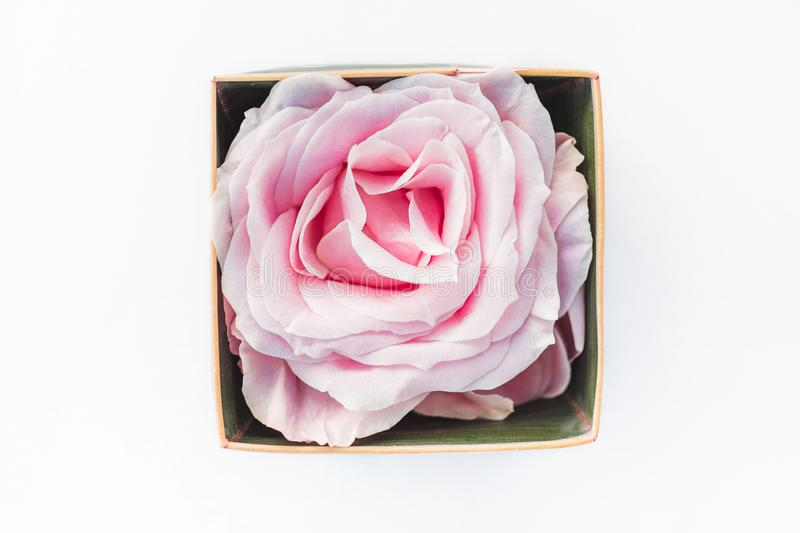 One pink blooming rose in box, isolated on white. Background. Gift or wedding decoration stock photo